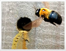 Carpenter Bee Control In NC