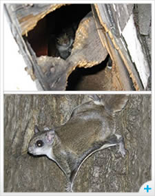 Flying squirrel damage