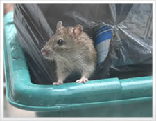 Rat in the trash