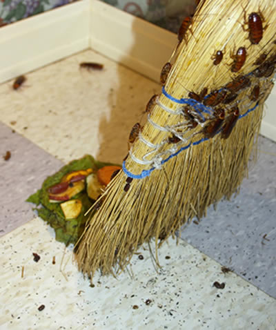 Nc Roach Control For Home And Businesses Go Forth Pest